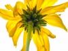 Bush Sunflower (1 of 1)